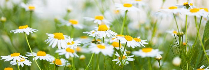 Blumen Kronberg